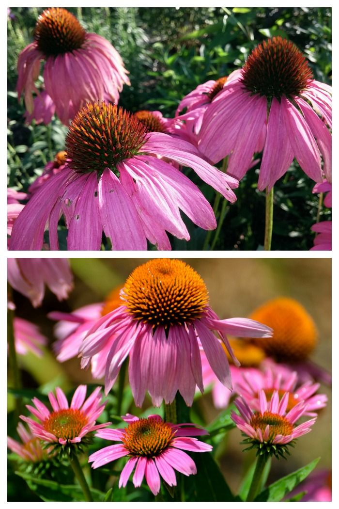 Growing Echinacea How To Care For Purple Coneflowers Echinacea Flower Care Orchid Care