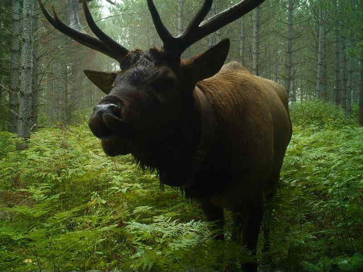 Bull elk--Ashland County