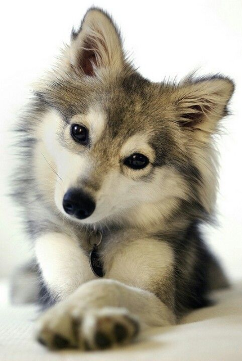 This precious little dog is a Miniature Siberian Husky - a Siberian Husky and  Pomeranian mix. Gorgeous