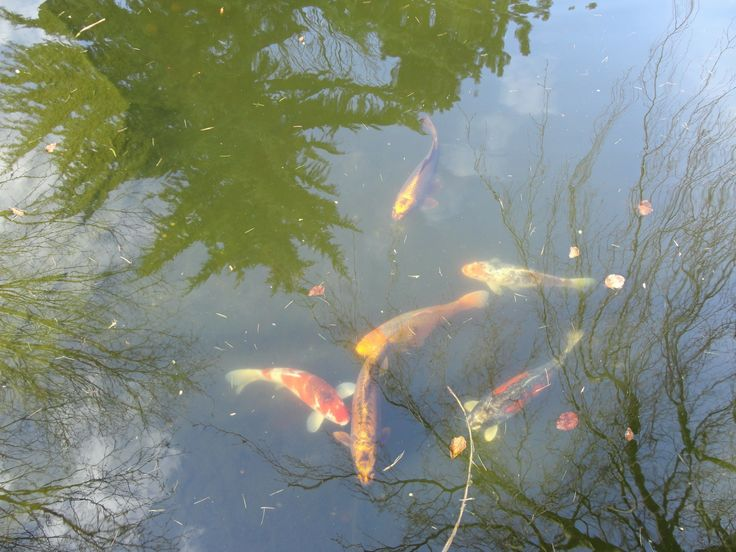 Fishpond in Amsterdam (Koi fish...cat faces ;)
