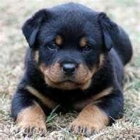 The dog I want...Carlin Pinscher or mini-rotti.