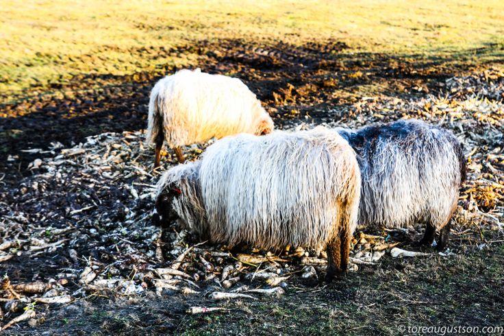 Sheeps eating