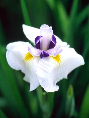 Japaneses irises, such as 'Popular Acclaim', are beautiful; most are hardy to Zone 4. More details on growing Japanese irises: http://www.midwestliving.com/garden/japanese-irises/