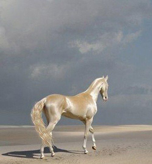 Akhal-teke cremello horse. This horse has been named the most beautiful horse in the world, partially thanks to its naturally metallic coat