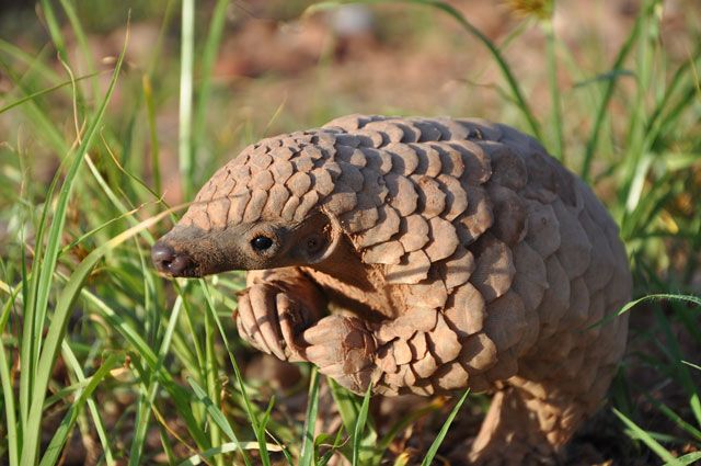The birth of a pangolin on Okonjima's neighbouring property, these are very rare images indeed.