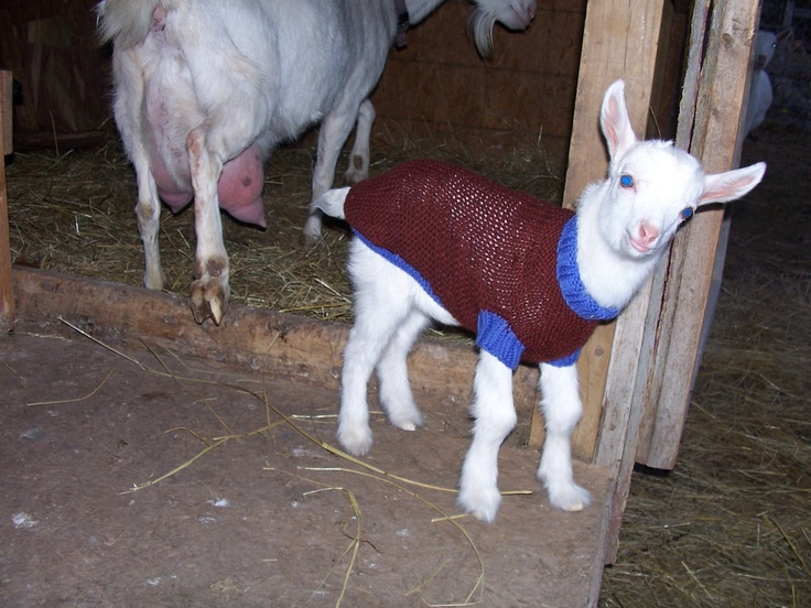 61 curated Goats in Sweaters ideas by farmersmith
