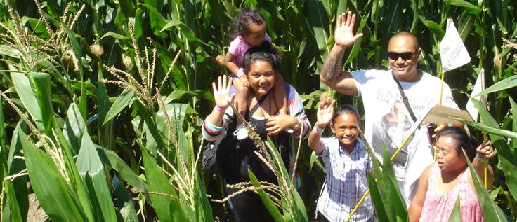 New Zealand's Amazing Maze 'n Maize is in Karaka, in rural South Auckland, and is a giant corfield maze.      Inside the Maze, you'll walk along several kilometres of paths and make decisions at the intersections as to which way to go. The Amazing Maze features a central viewing bridge, 'kernels of knowledge' or trivia about maize that are located a spots within the maze. And there are always lifeguards on hand ready to assist if you get really lost.