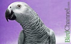 There are many myths and misconceptions about a parrot's talking ability. Find out what is true and what is fiction about parrot talking.