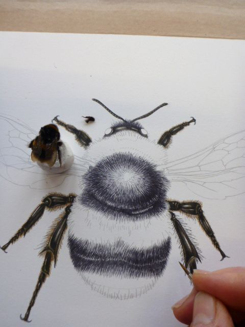 Lizie Harper natural history illustration of a bumble bee. It's a humble bumble.