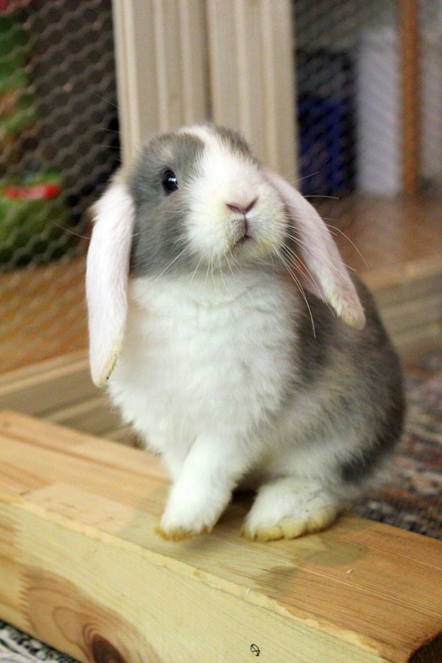 How adorable. Flop ears just make them super cute.