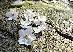 Sakura, Japan, Kirsche, Natur, Blume