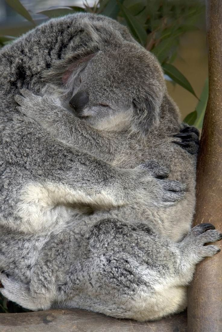 Hugging Koala's, Australia Cute animals, Koala bear, Koalas