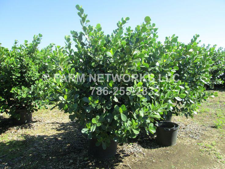 45 Gallon Clusia Hedge