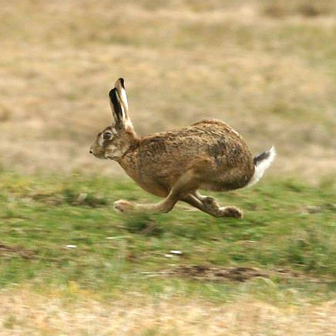 """Suddenly he made off like a bounding hare, ears flung back, chasing the shadow of a lowskimming gull."" (3.333-335)"