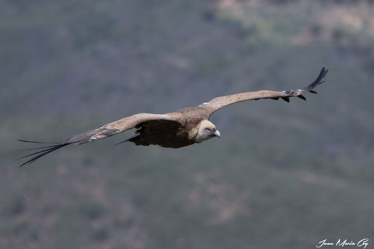 https://flic.kr/p/GPvNvS   Griffon vulture (Gyps fulvus) - Buitre Leonado (Gyps fulvus)