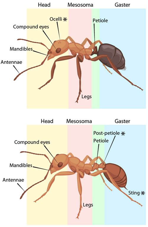 Ant Anatomy | ASU - Ask A Biologist