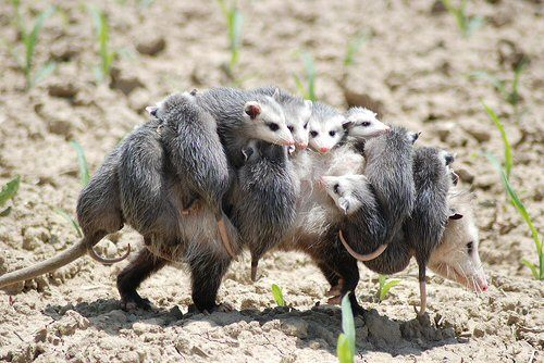 OPOSSUM MOMMA. Opossums are North America's only marsupial ...