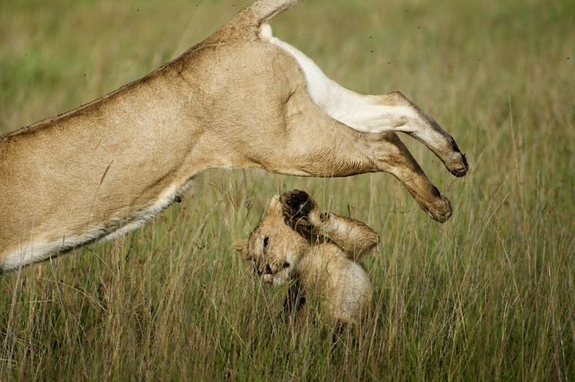 """In Kenya's Masai Mara National Reserve, a cub raises a paw to avoid a lioness that has sprung into action. The near miss was a small price to pay for the treat that followed: Minutes after this adorable image was taken, explains Your Shot photographer India Bulkeley, """"the same lioness took down a wildebeest to share with her four cubs."""" PHOTOGRAPH BY INDIA BULKELEY, NATIONAL GEOGRAPHIC YOUR SHOT"""