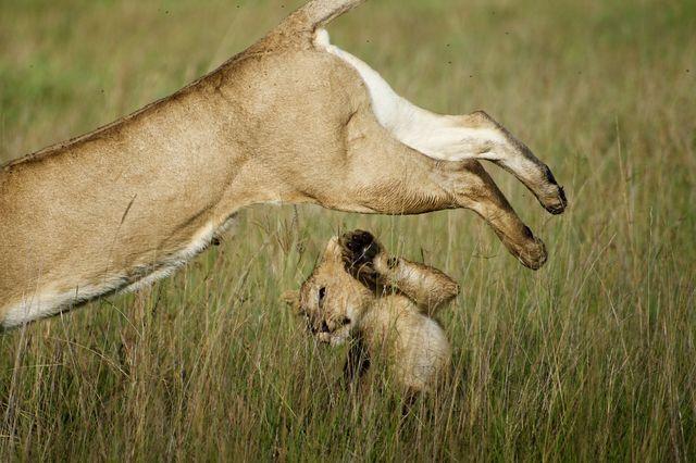 Picture of a lion cubunder a leaping lion, Kenya