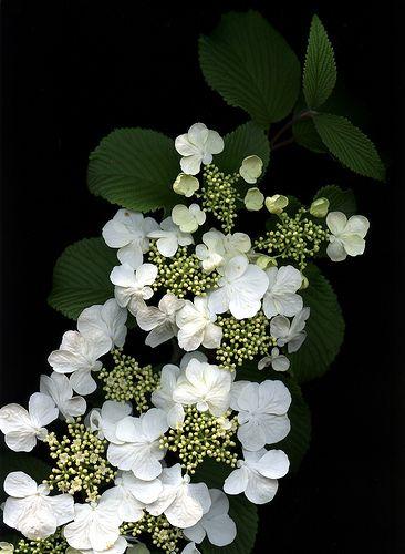 Viburnum plicatum forma tomentosum 'Shasta'.