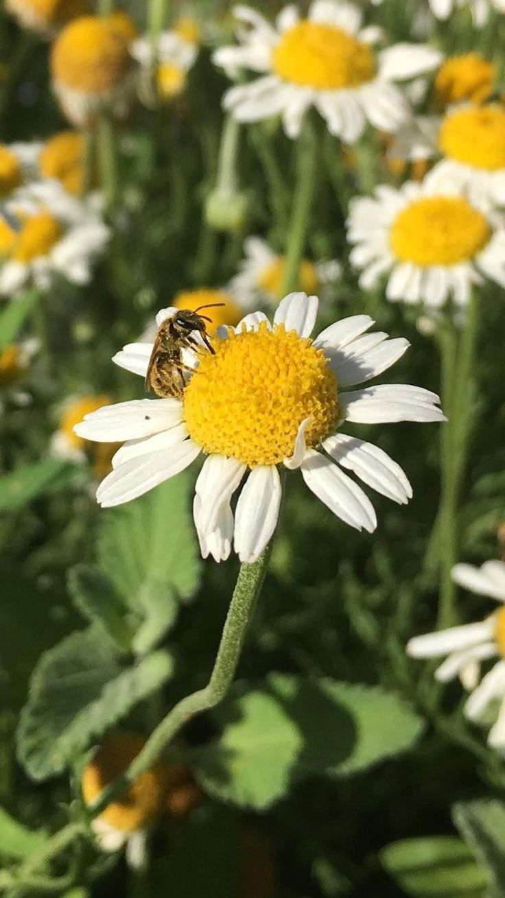 Hey thanks for helping me pollinate my chamomile #gardening #garden #DIY #home #flowers #roses #nature #landscaping #horticulture