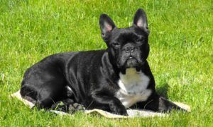 French Bulldogs Dogs 101 Fun Facts and Information #frenchbulldog