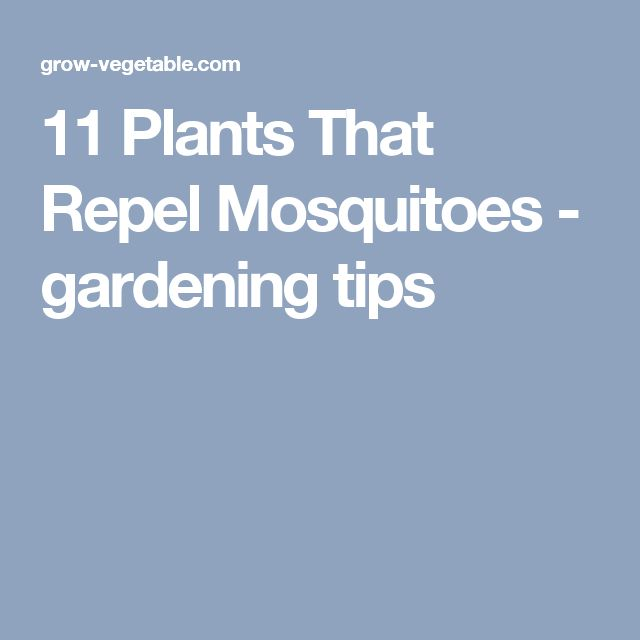 11 Plants That Repel Mosquitoes - gardening tips