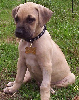 Black mouth cur (my puppy looks almost exactly like her!)