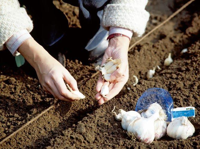 Planter ses épluchures de légumes pour… - Santé Nutrition