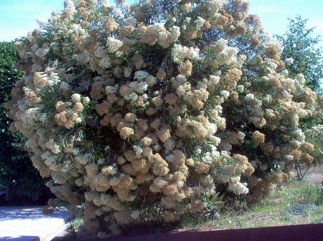 Buddleja saligna,False olive