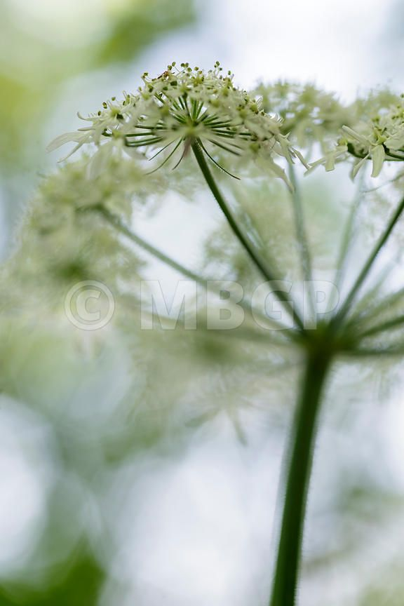 Heracleum sphondylium, common names hogweed, common hogweed or cow parsnip
