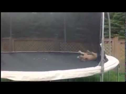 Bulldog Bouncing On Trampoline... This bulldog is having the time of his life! CUTE...