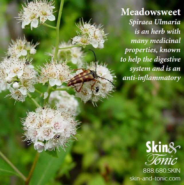 Meadowsweet an ingredient in Skin & Tonic. Detox Wild