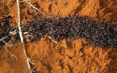 Army ants Army ants, beard microbes and ant-mimicking jumping spiders