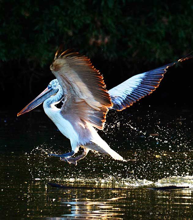 Pellicano Comune (Pelecanus onocrotalus) prende il volo #AnimaliVolanti #Pellicano