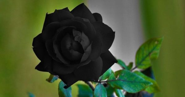 black-rose-1.jpg (600×315)