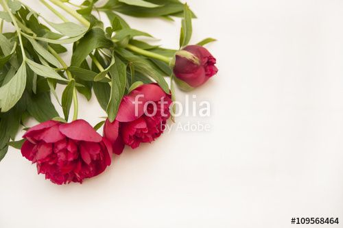 Dark red peony flowers on a white background