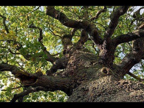 Ein Traum von Baum – Baumgriese und Stammhalter Von den Wurzeln bis zur Krone – zehn Bäume erzählen ihre Geschichte und enthüllen die verblüffende Beziehung zwischen Natur und Kultur. In dieser Folge: Eine Eiche in Deutschland und eine Zypresse in Italien bilden jeweils das... - #Arte, #Doku, #Geschichte, #Menschen, #Natur  http://www.dokuhouse.de/ein-traum-von-baum-baumgriese-und-stammhalter/