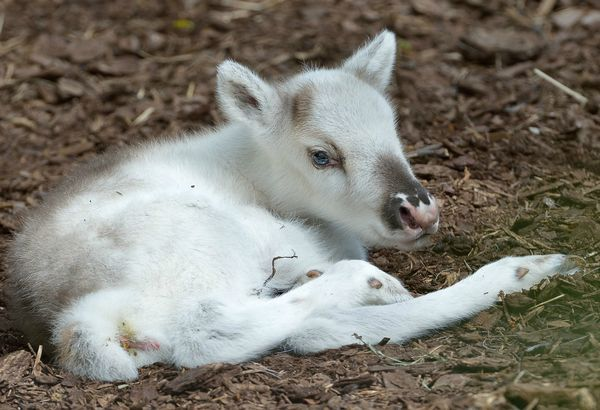 """Named for the word """"snow"""" in Finnish, Lumi the female Reindeer calf was born on April 25 at Austria's Vienna Zoo. Only minutes after the 11-pound (5 kg) calf was delivered by female Reindeer Helmi, Lumi stood up on her..."""