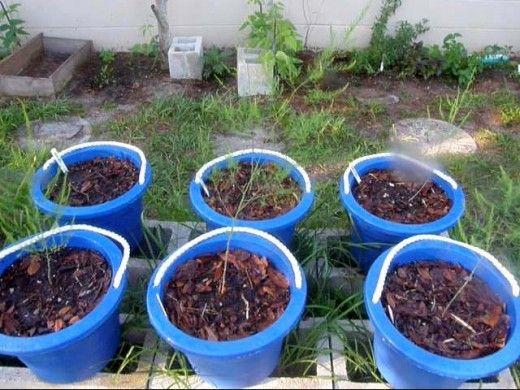 Cómo cultivar espárragos en maceta
