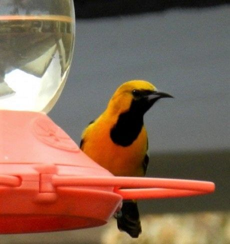 Learn to attract the Hooded Oriole to your west coast yard with this revamped information page. Pictured is the hooded oriole popular along the U.S. coast. I finally attracted them after 4 years of springtime work. We see them every year since 2015. The oriole is favors grape jelly. They love it.