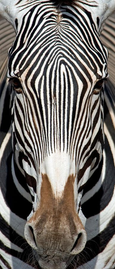 Greveys Zebra, Samburu National