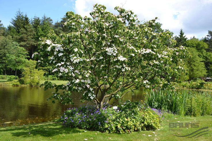 CORNUS kousa 'Kreuzdame', Chinesischer Blumen-Hartriegel   Pflanzen   null   Bruns-Website ...