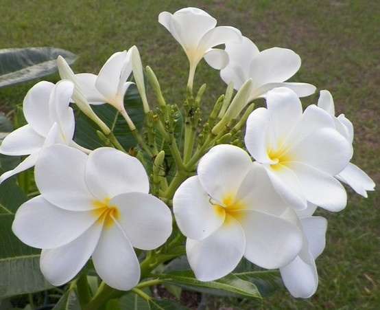 The 42 best my plumerias images on pinterest fragrance perfume hong kong hong kong has the strong scent of singapore and is evergreen with the thick glossy dark green leaves but the flower typically blooms 6 petals mightylinksfo
