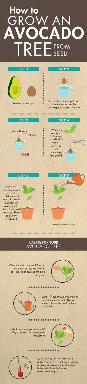 How To Grow an Avocado Tree From Seed