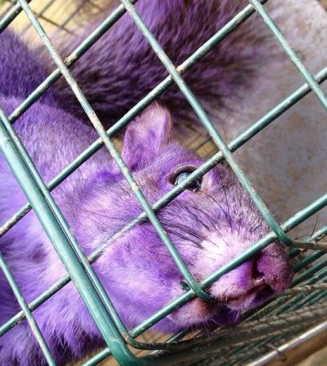 a purple squirrel?  What in the world is going on?!