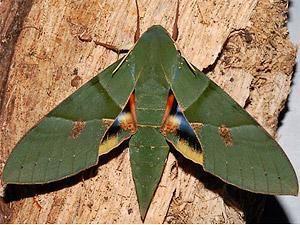 Gaudy Sphinx Moth. Eumorpha labruscae