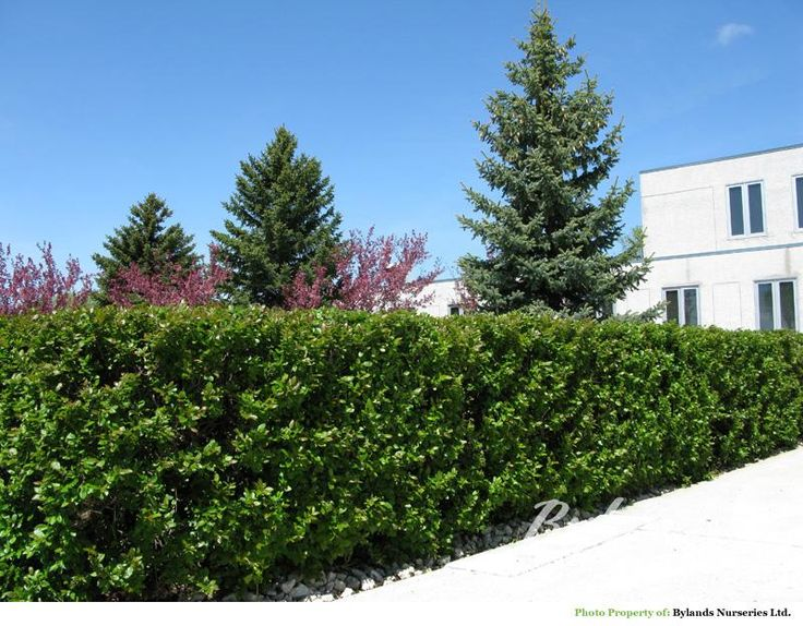 Hedge Cotoneaster Cotoneaster Lucidus Yard Ideas