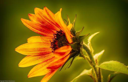solo für eine kleine sonnenblume © Robert Buckkremer