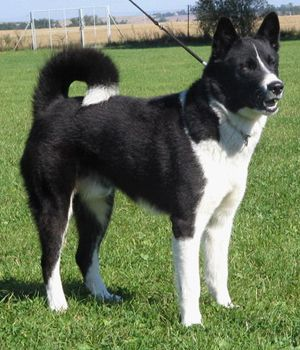 Karelian Bear Dog breed info,Pictures,Characteristics,Hypoallergenic:No